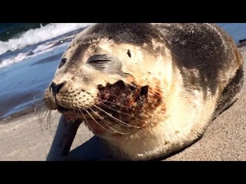 Seal Happily Scoots Back Into Ocean After Healing From Predator Bite Wound