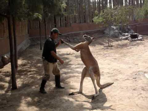 Resultado de imagen de canguro vs humano