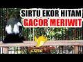 Cipoh Ekor Hitam Gacor Meriwit  Mp3 - Mp4 Download