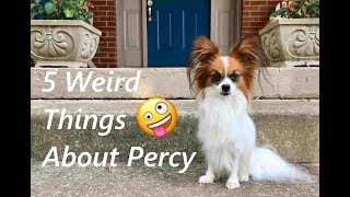 5 Weird Things About Percy the Papillon
