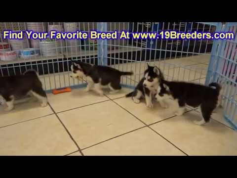 Siberian Husky, Puppies, Dogs, For Sale, In Miami, Florida, FL, 19Breeders, Tallahassee, Gainesville