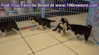 Siberian Husky, Puppies, For, Sale, In, Little Rock, Arkansas, Ar, Russellville, Jacksonville, Sherw