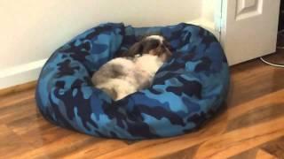 Daisy The Snoring Shih Tzu