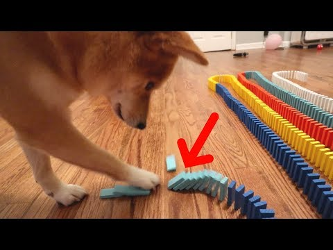 DOG KNOCKS DOWN 1,000 DOMINOES!