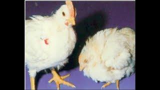 Como curar el chorro blanco en gallinas y gallos