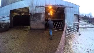 Cattle Men - New Series - GoPro Hero4