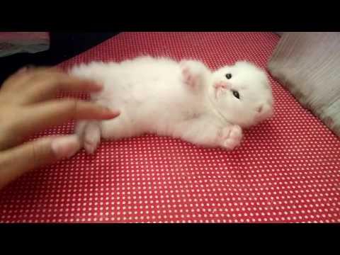 กลมๆ กลิ้งๆ #Scottish fold#Manekineko Cattery#Cat#Cute