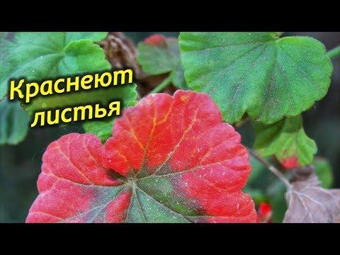 Почему краснеют листья у пеларгонии? Причины покраснения листьев у герани.