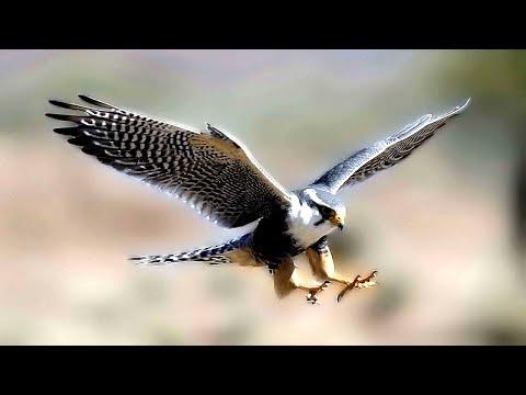 Дикий Сокол! Очень удачная и редкая съемка Сокола на природе!