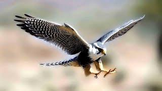 Дикий Сокол! Очень удачная и редкая съемка Сокола на природе!(Гарантирую, что редко удается приблизится к дикому Соколу на природе. Сокол это хищная птица и не очень..., 2016-07-31T19:32:47.000Z)