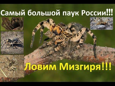 Самый большой паук России! Южнорусский тарантул aka Мизгирь!