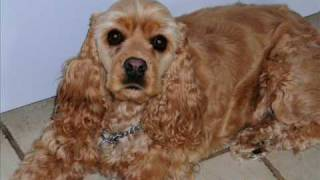 This Video Previously Contained A Copyrighted Audio Track. Due To A Claim By A Copyright Holder, The Audio Track Has Been Muted.     American Cocker Spaniel