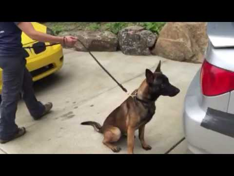Narcotics detection police puppy Spike