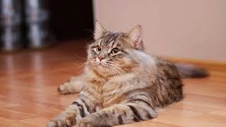 Сибирская кошка описание породы видео