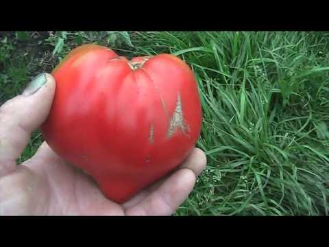 сорт томата Сахарный бизон