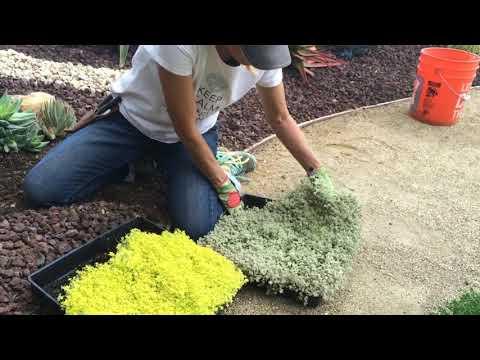 Succulent Tip of the Day (Succulent Carpet)