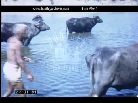 Ox in River India, 1960s - Film 94644
