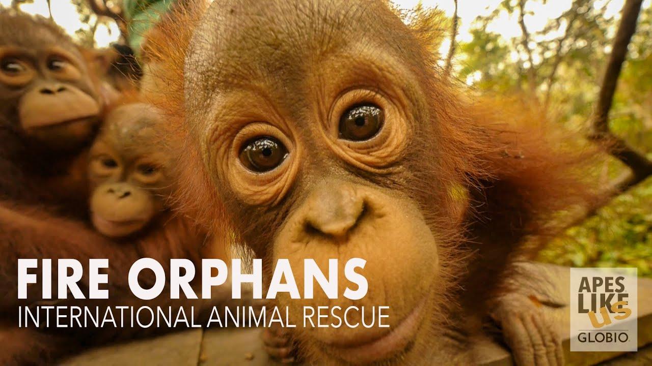 International Animal Rescue's Orphan Baby Orangutans