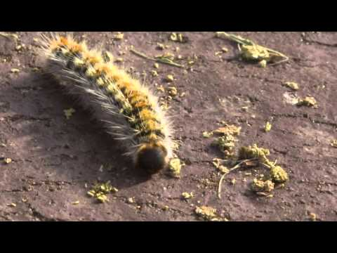 NW CATERPILLARS ALAMEDA BOTANICAL GARDENS 22 01 16 YouTube sharing