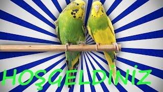 Papağan Ve  Muhabbet Kuşu HoŞgeldİnİz Konuşma Eğitim Sesi Hazır Ses Kaydı 1 Saat