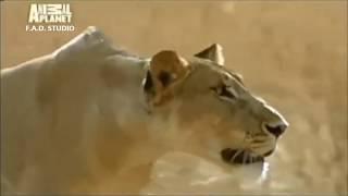 Шокирующая история одной львицы. Львица приютила дитя антилопы. Любовь победила голод.