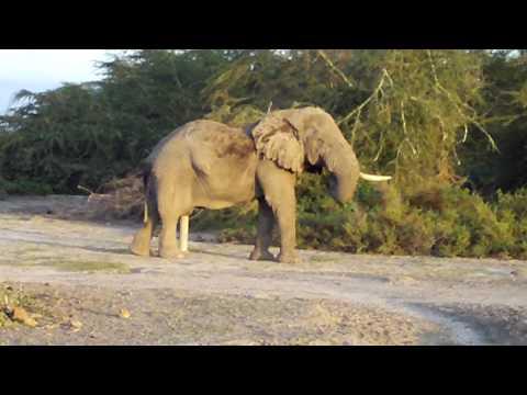 Kenya Safari- Elephant Crossing Electric Fence