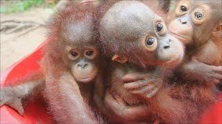 Индонезия: школа выживания для орангутанов (новости)