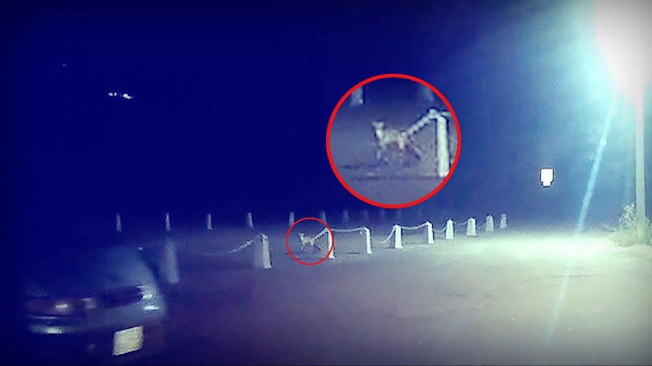 На Уктусе на парковке бегает лиса
