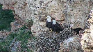 Bald Eagles Enjoying the View
