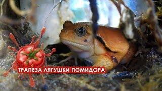 Трапеза лягушки помидора (Dyscophus antongilii feeding)