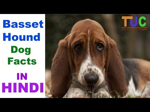 Basset hound Dog Facts In Hindi - Popular Dogs - Dogs And Facts - The Ultimate Channel