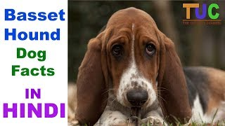 The Basset dog breed was bred for hunting small game such as rabbit...