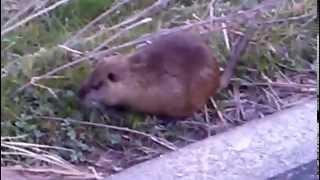 近所の川で野生のヌートリアを発見!