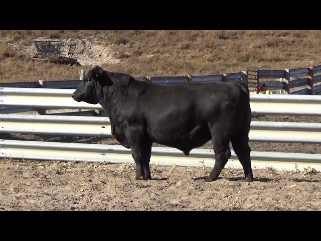 Connealy Angus Lot 235