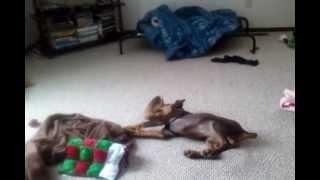 Doberman Pinscher Puppy Plays With Sheepskin Slipper