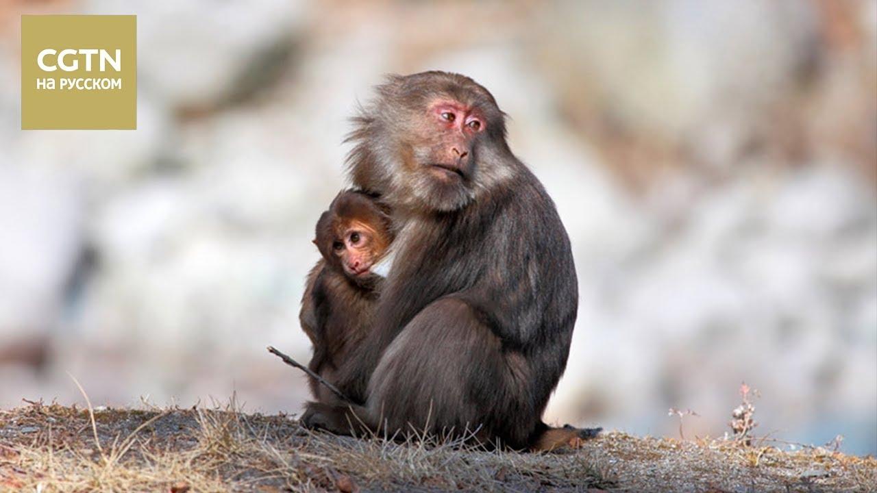 Редкие тибетские макаки в естественной среде. Как живут приматы - в нашем видео [Age 0+]