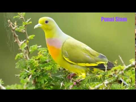 Jenis-jenis Burung Punai