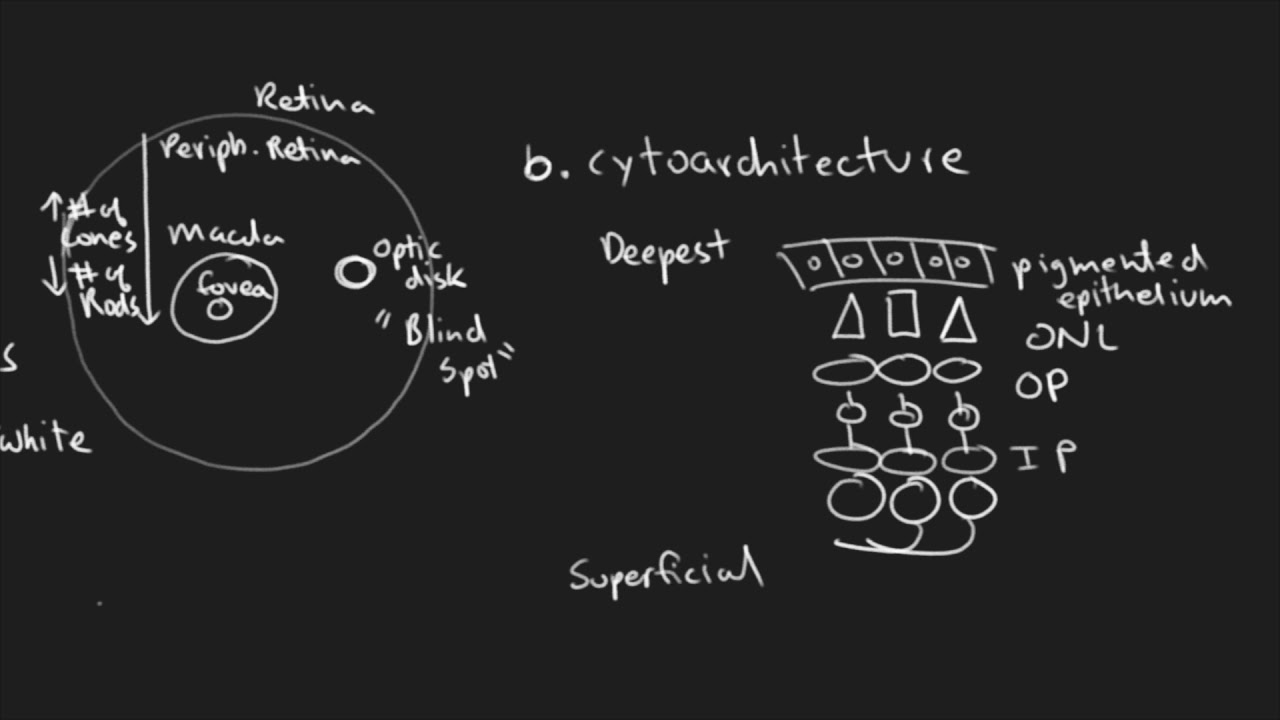 Sensory Systems (Vision Part 2) - Rutgers Anatomy and Physiology ...