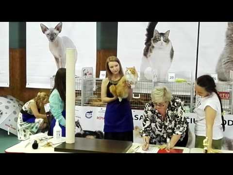 Big, red kurilian bobtail cat Porche Golden Look at World cat show