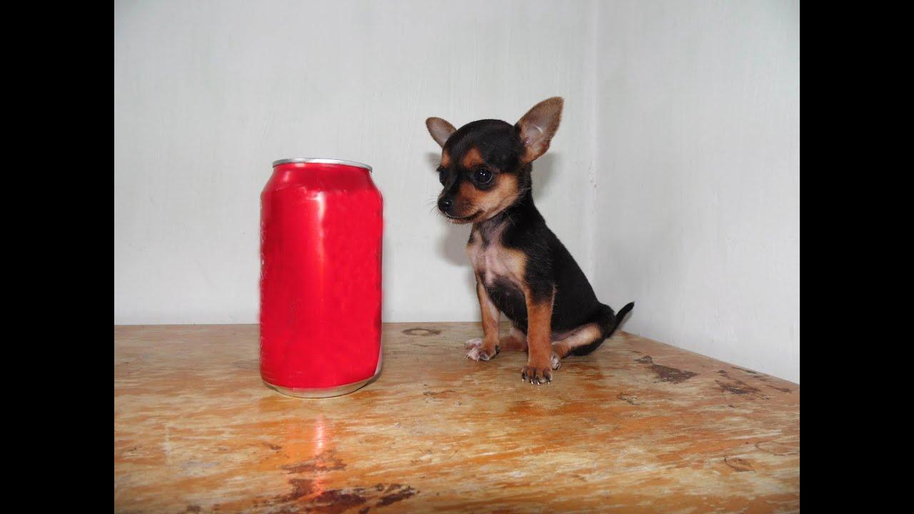 Chihuahua Golondrina Hembra Bolsillo Mini Toy Tacita Youtube