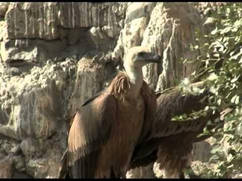 Хосров Сипы. Khosrov Griffon Vulture | Film Studio Aves
