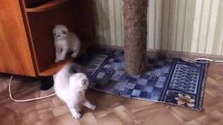 Шотландские вислоухие котята 2