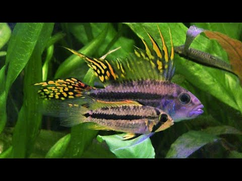 My Top 5 Black Water Fish-For Color, Behavior & Ease Of Care (Species Groups) More Than Just Discus!