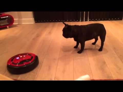 Gizmo the French Bulldog meets a robot