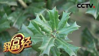 《致富经》 20200422 带刺的怪树 潜藏十年的财富| CCTV农业