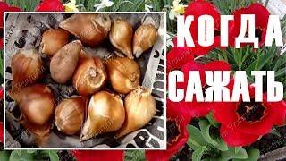 видео Посадка тюльпанов осенью