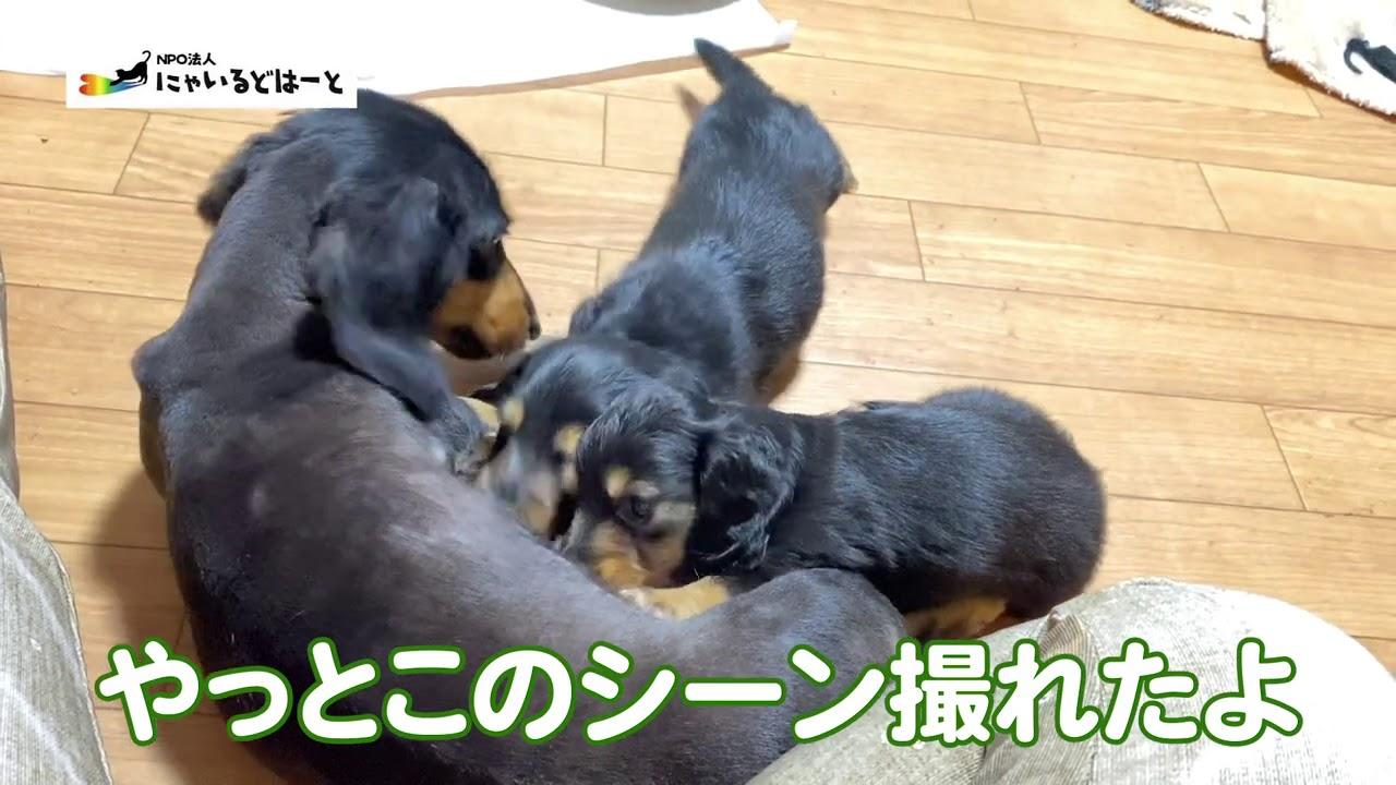 【子犬】ダックスフンドの赤ちゃん急成長【保護犬】#169