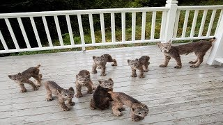 Man Finds Family Of Lynx On Porch