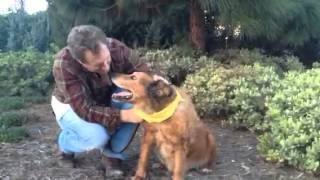 R.i.p. - Teddybear Marshall - Chesapeake Retriever - Irish Setter Mix - Calm And Quiet Dog