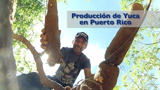 Siembra y Cosecha de Yuca [Documental]